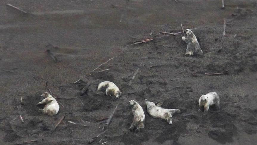 six-fat-polar-bear-wallow-in-sb-sand_noaa-summer-2019-e1578690678986.jpg